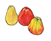 Cashew Color Illustration