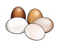 Eggs Color Illustration