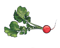 Radish Color Illustration