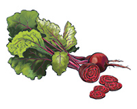 Beets Color Illustration