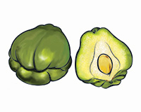 Chayote Color Illustration