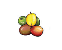 Jocotes Color Illustration