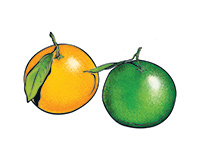 Oranges Color Illustration